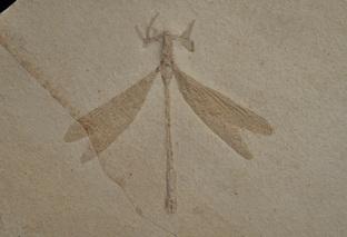 Isophlebia