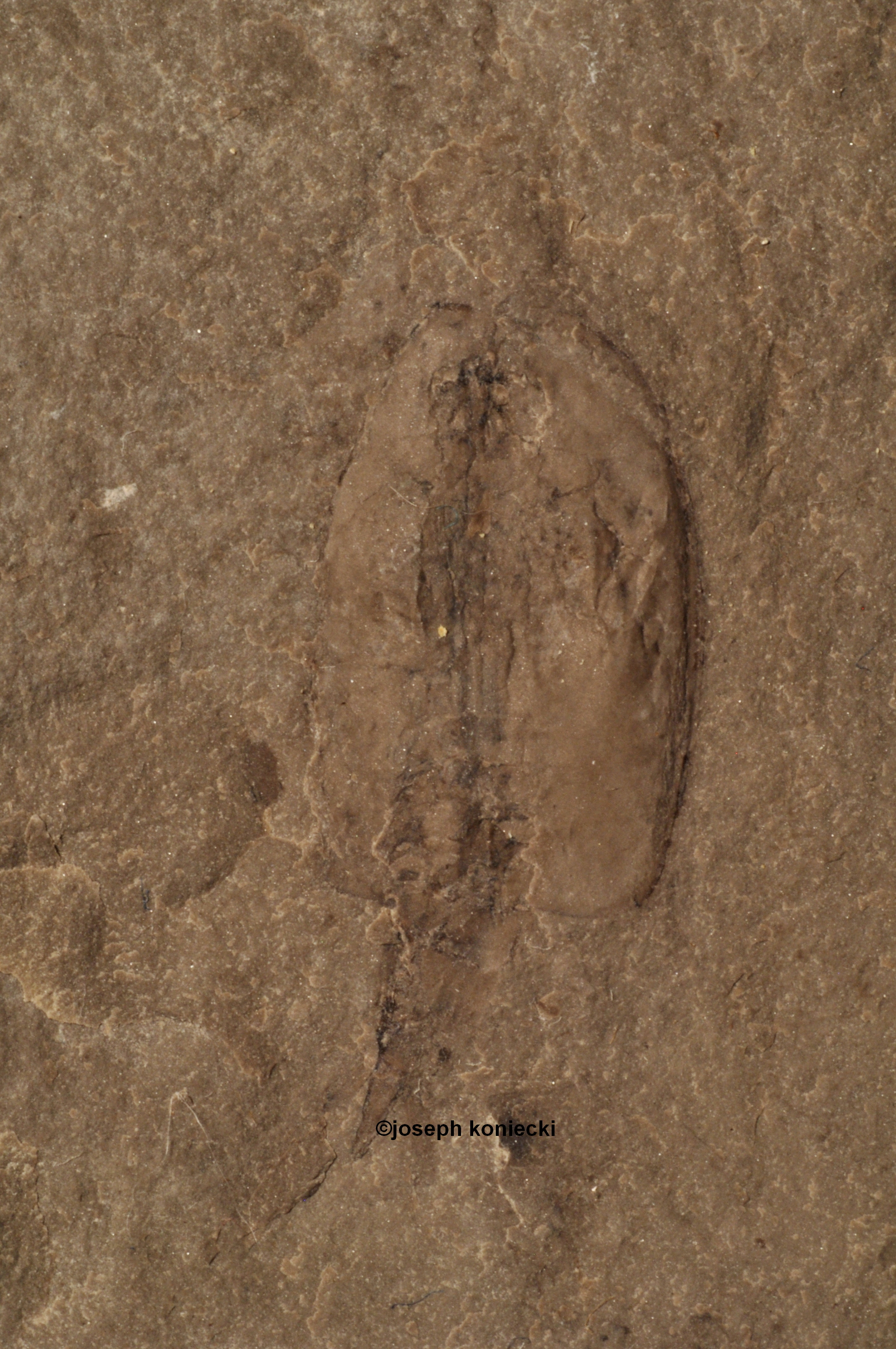 Ceratiocaris
