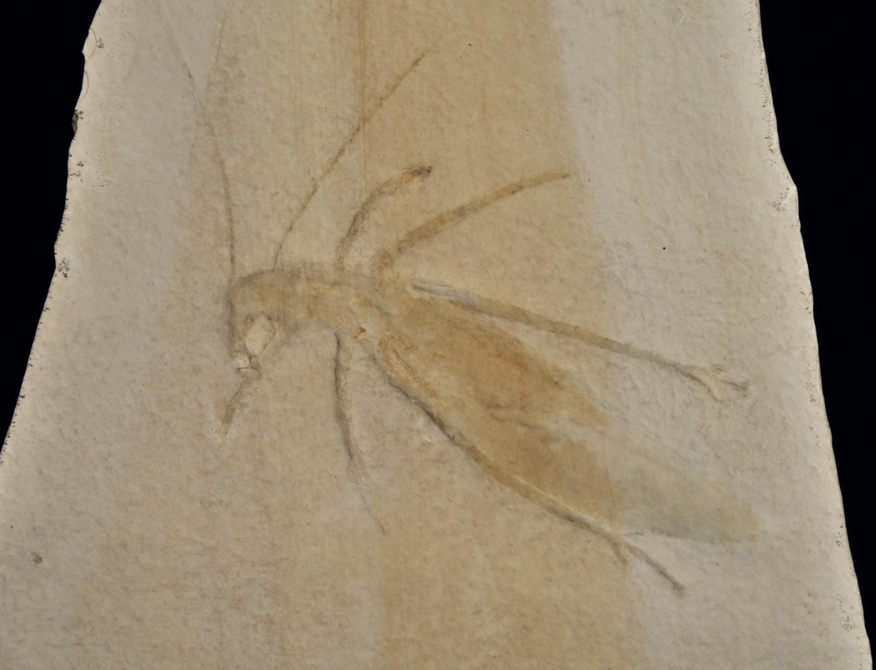 Pycnophlebia