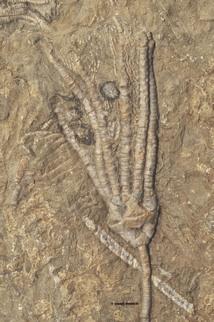 Phacelocrinus