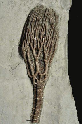 Reteocrinus