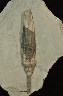 Ulrichicrinus