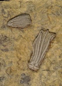 Pachylocrinus