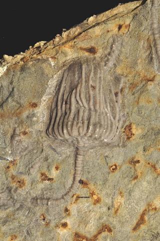 Batocrinus