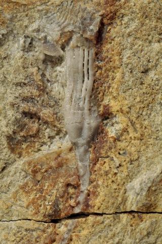 Allocatillocrinus