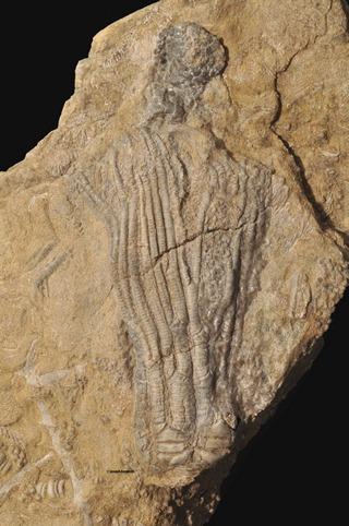 Alcimocrinus
