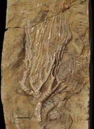 Rhopocrinus