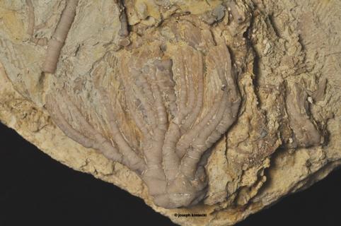 Linocrinus