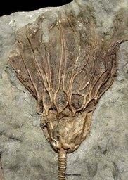 Glyptocrinus