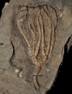 Decadocrinus