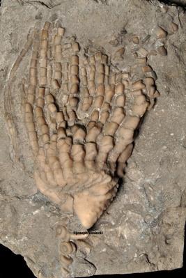 Cunctocrinus