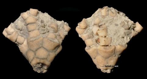 Charientocrinus