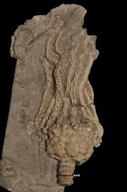 Dolatocrinus