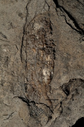 Nuxocrinus