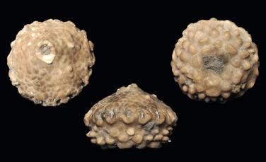 Megistocrinus