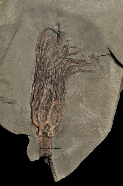 Reterocrinus