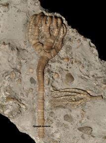 Eutaxocrinus