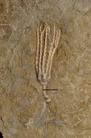 Aphelecrinus