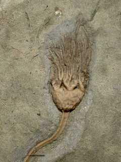 Illemnocrinus