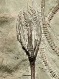 Daedalocrinus