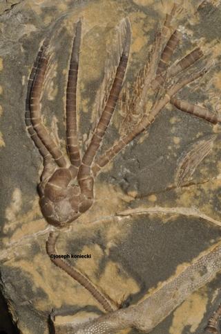 Scytalocrinus