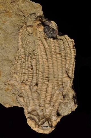 Dasciocrinus
