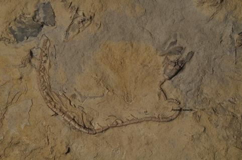 Camptocrinus
