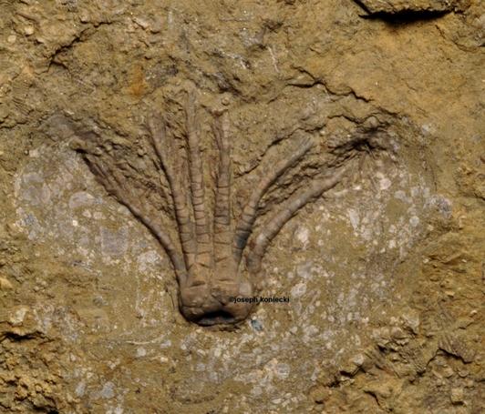 Pentaramicrinus