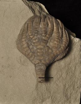 Forbesiocrinus
