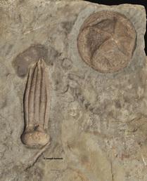 Phanocrinus