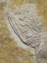 Catocrinus