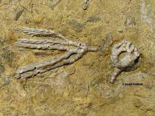 Taxocrinus