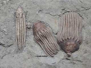 Dizygocrinus