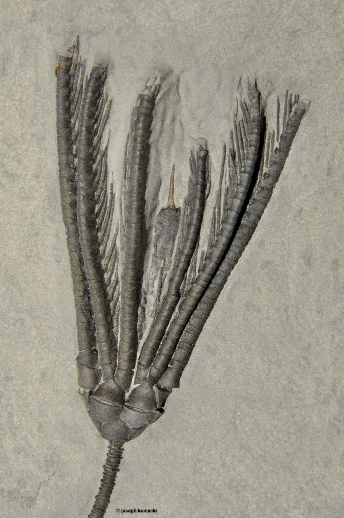 Histocrinus