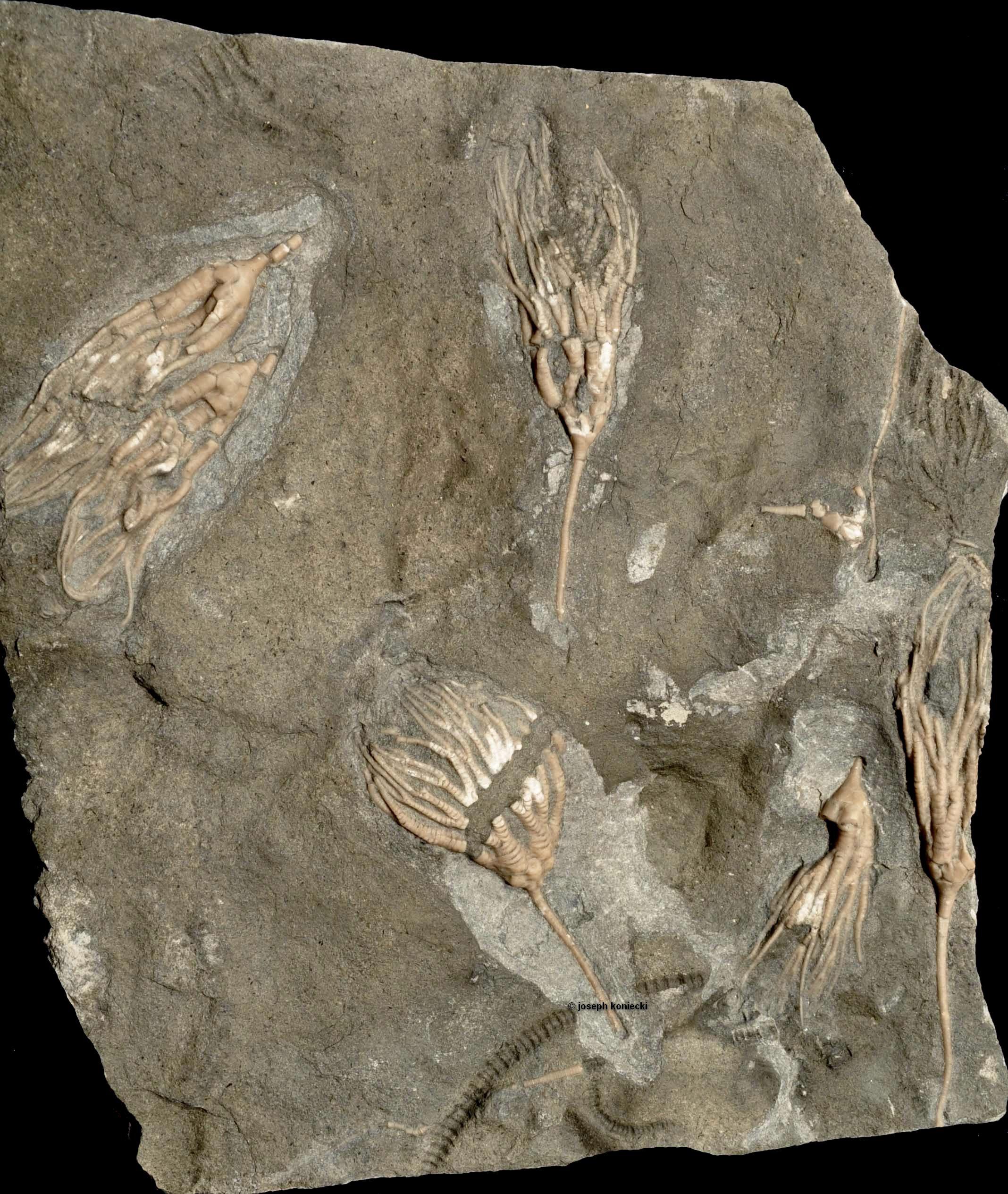 Cupulocrinus