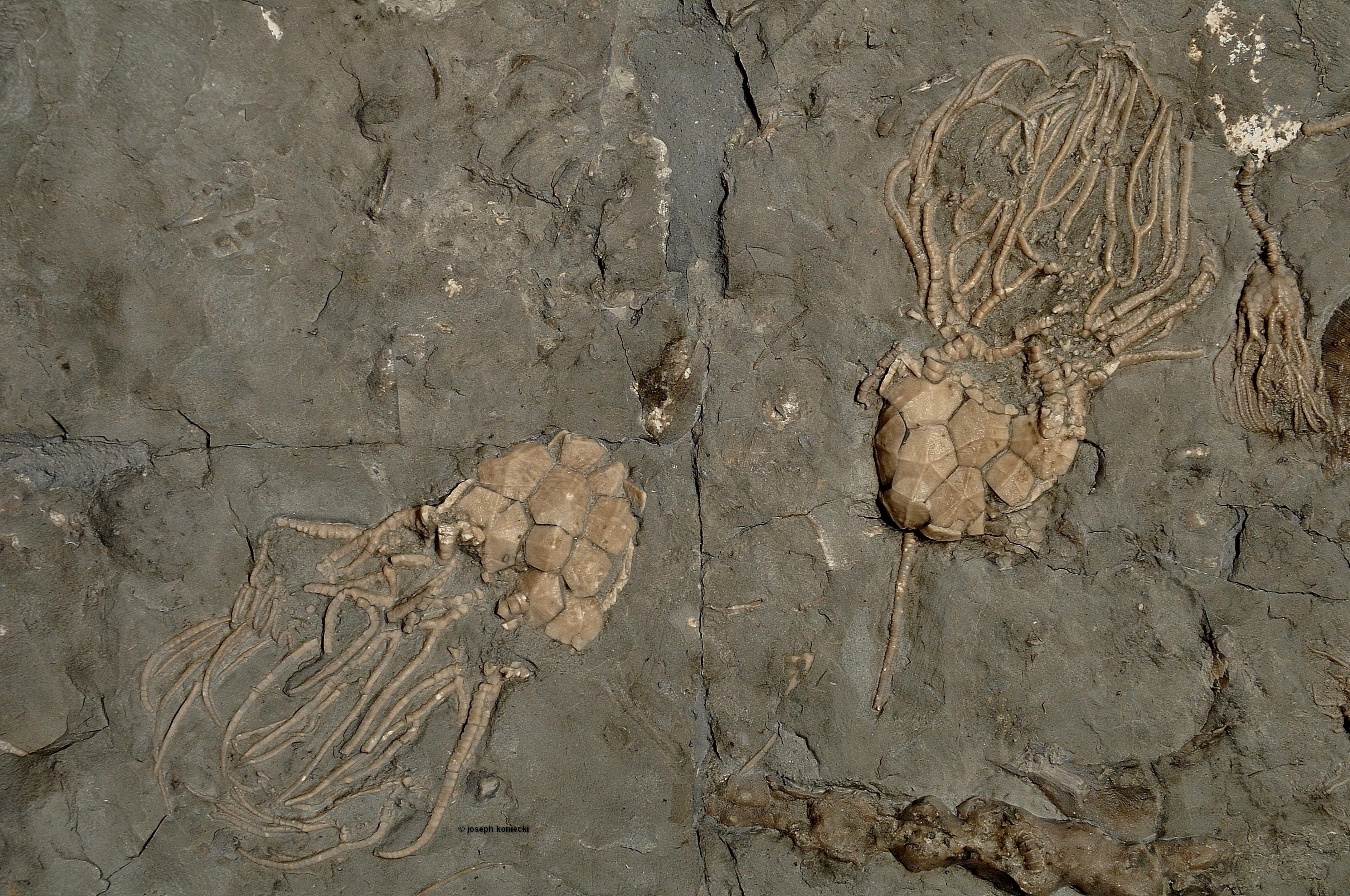 Carabocrinus