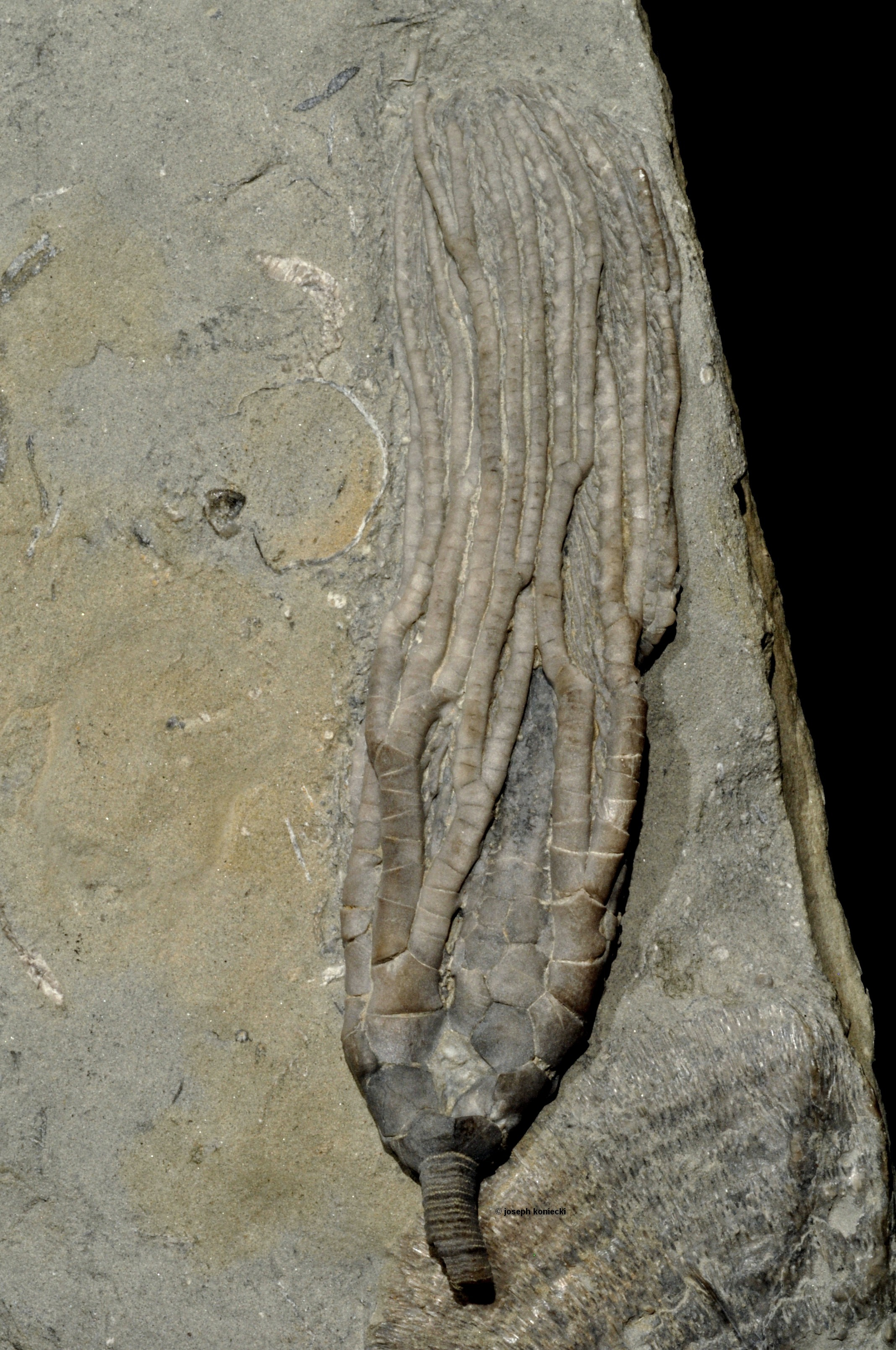 Hypselocrinus