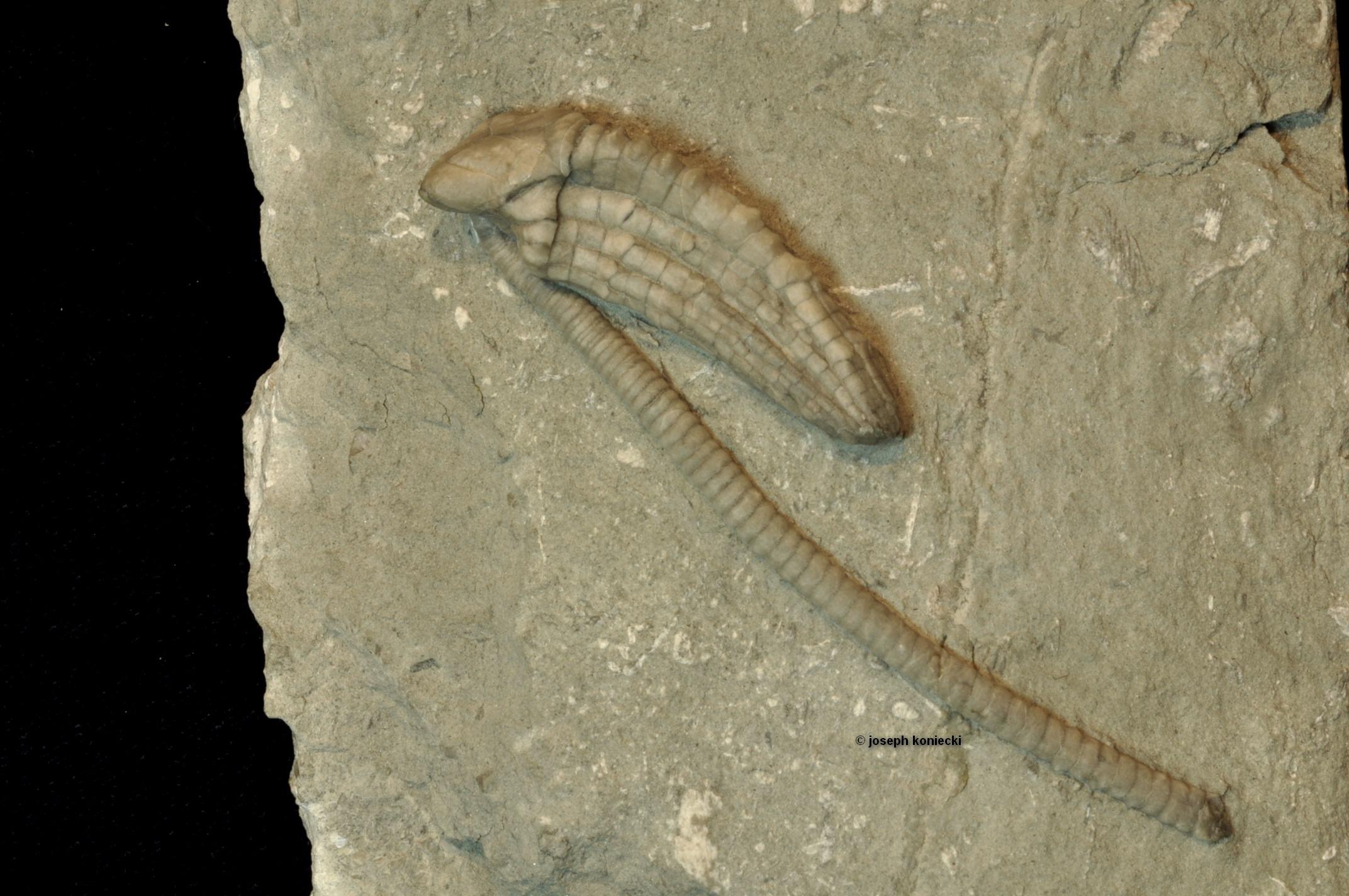 Halysiocrinus