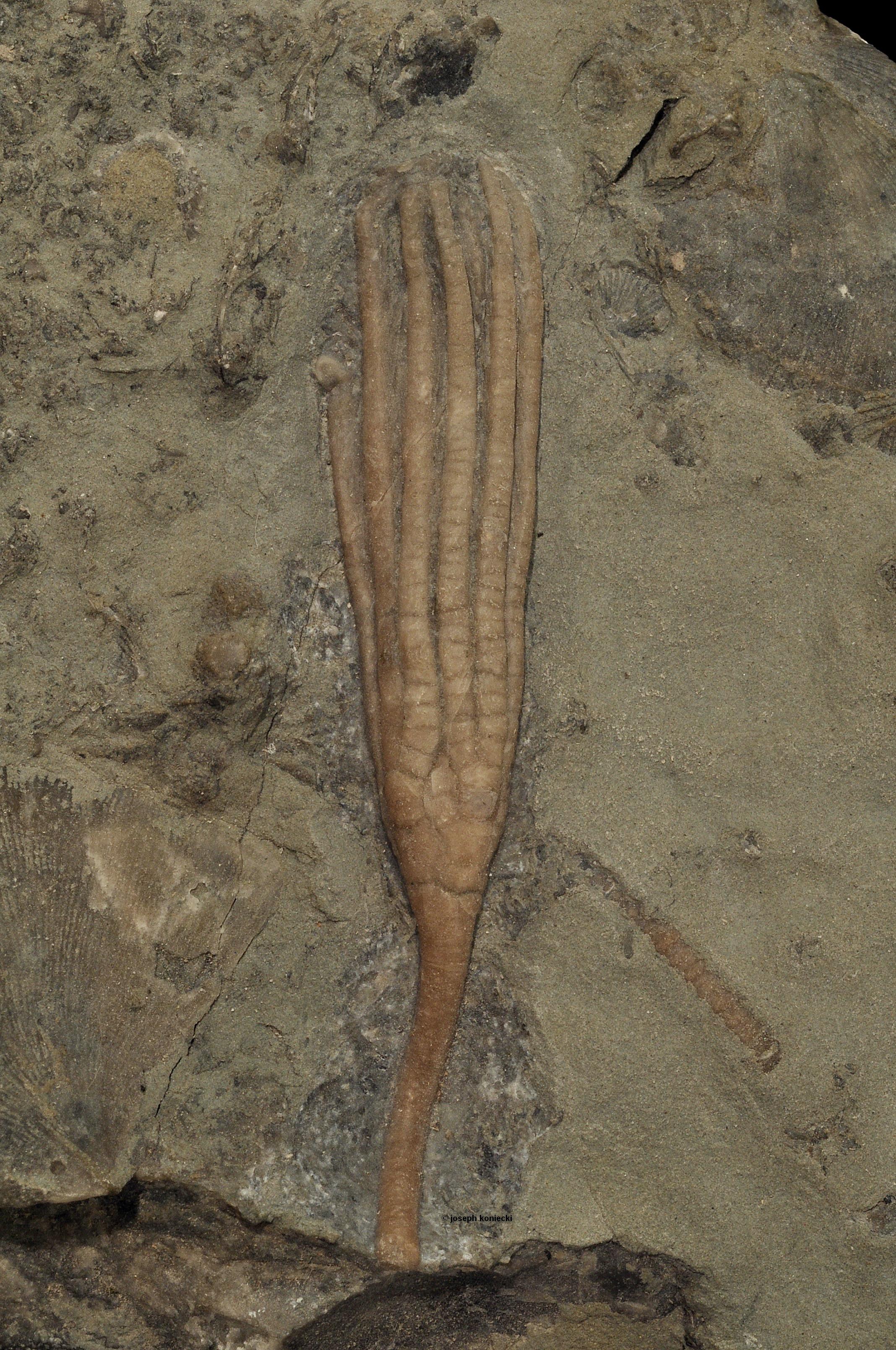 Ectenocrinus
