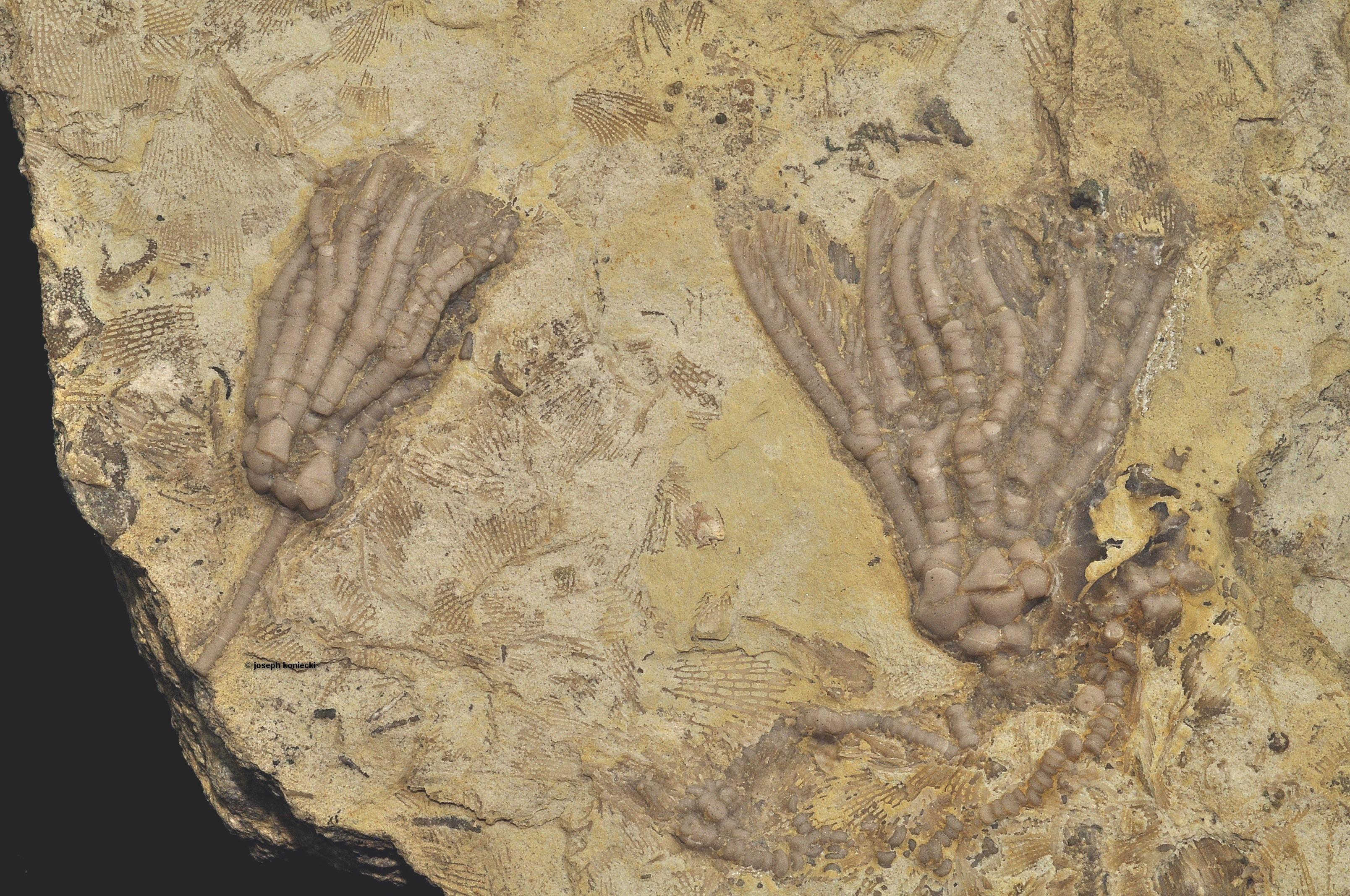 Dinotocrinus