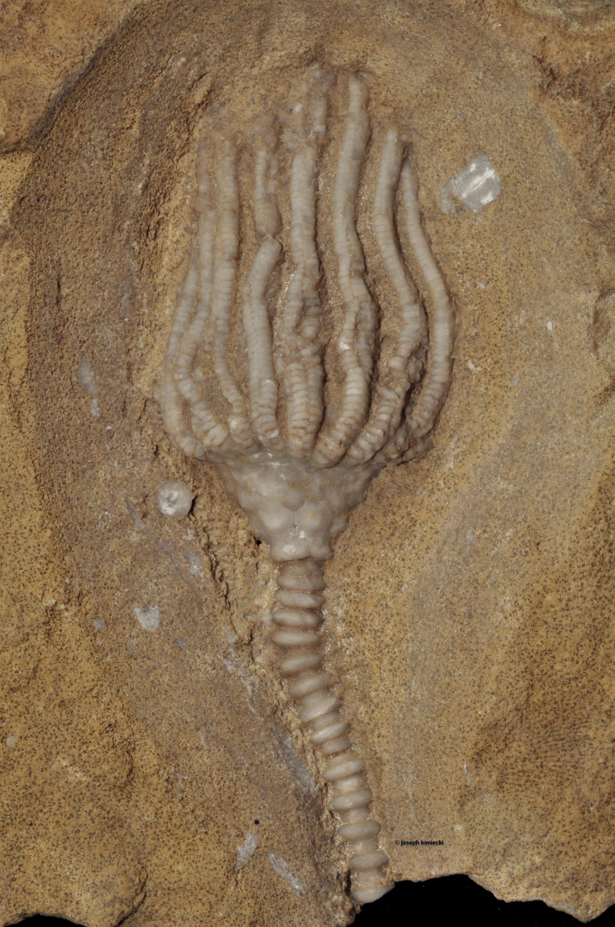 Uperocrinus