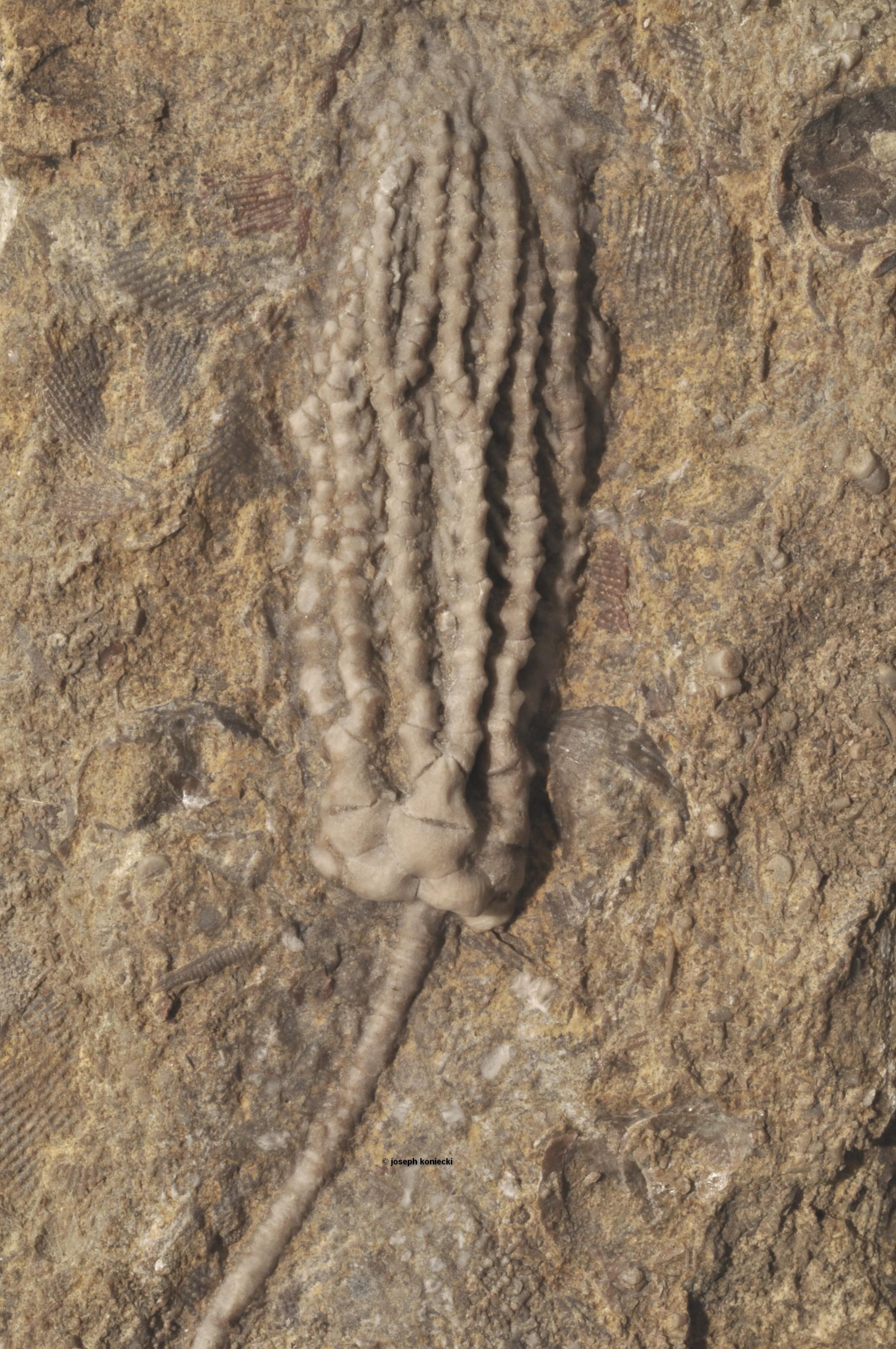 Harmostocrinus