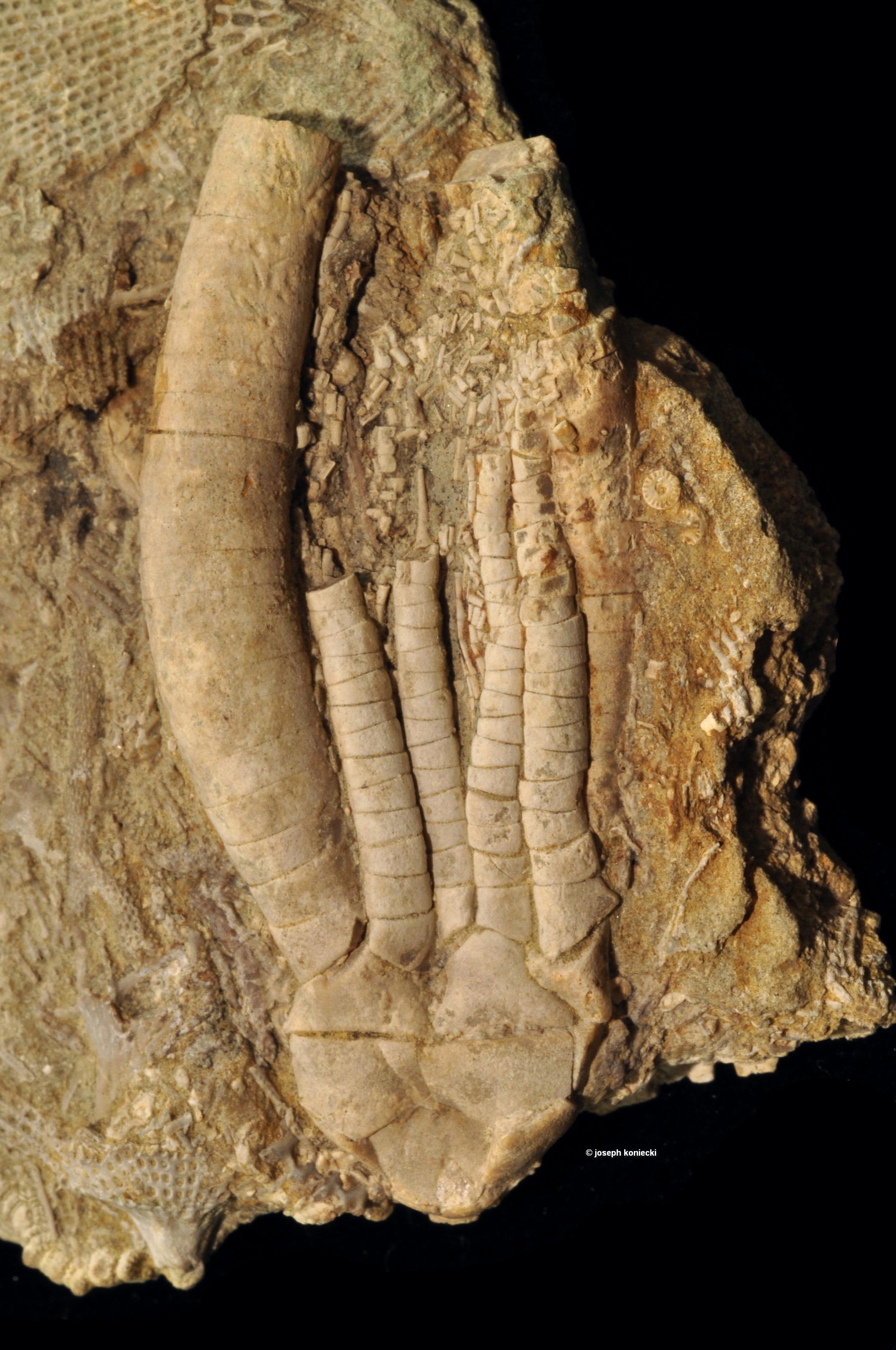 Anartiocrinus