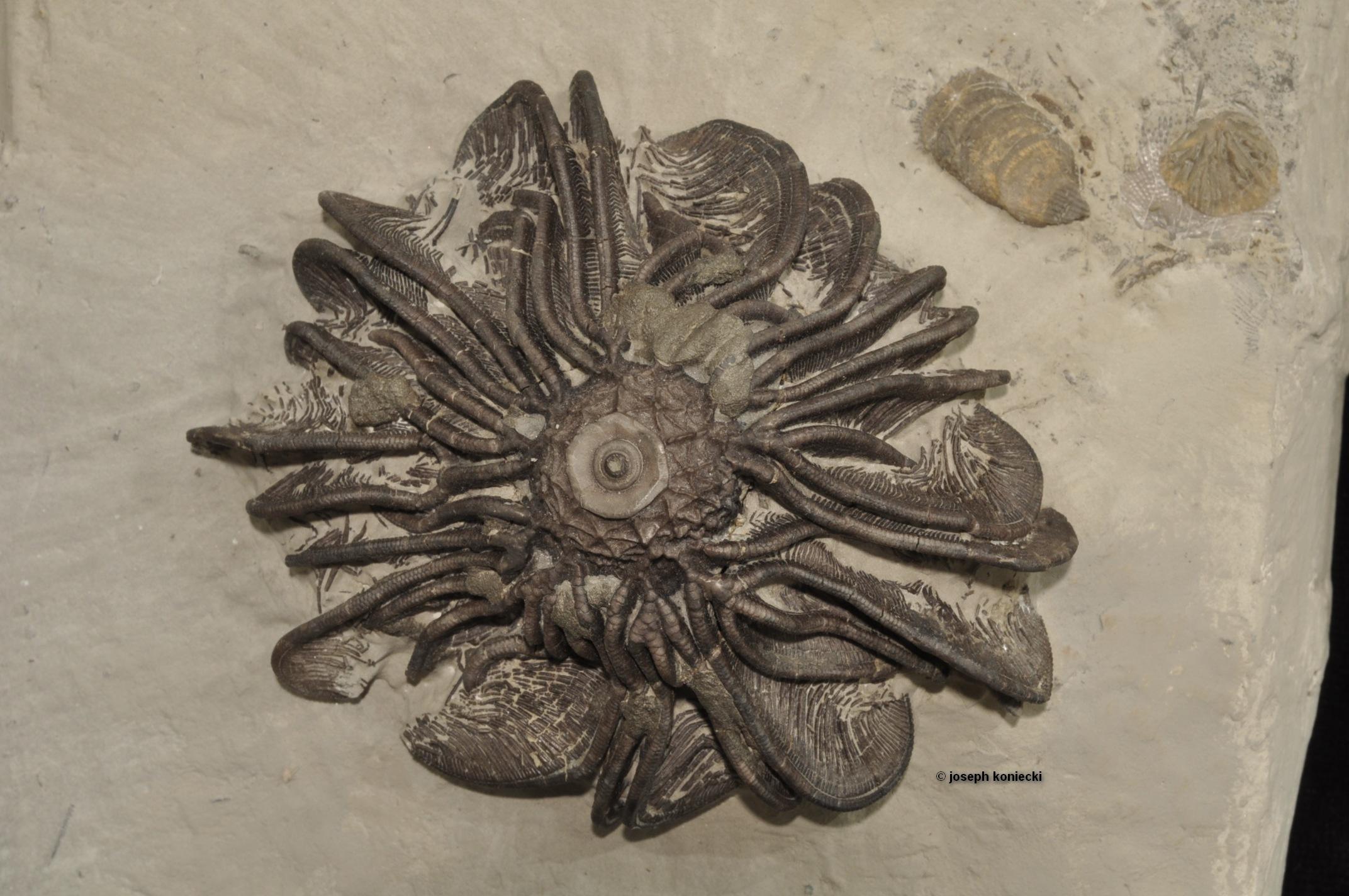 Gennaeocrinus