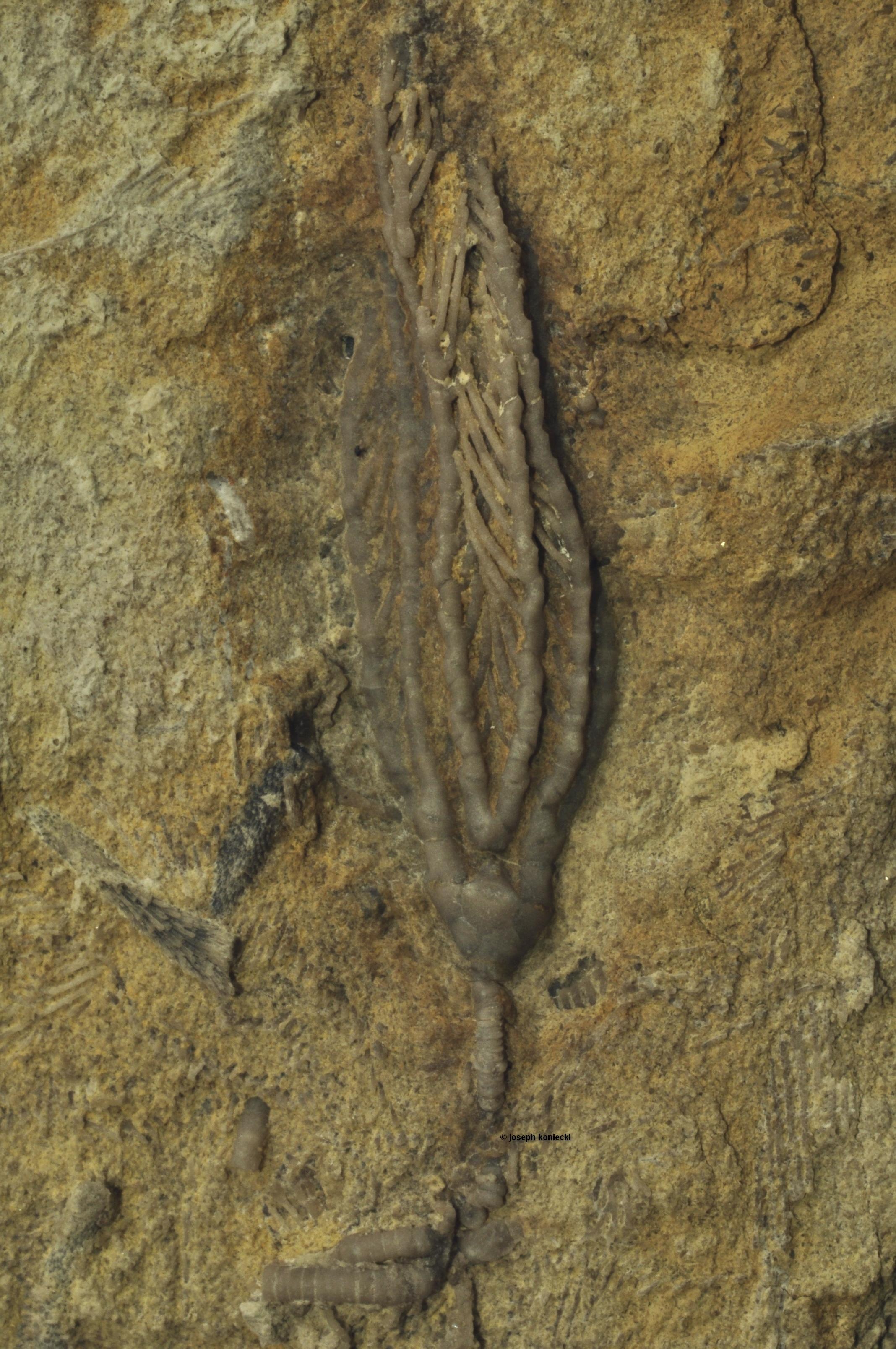 Ampelocrinus