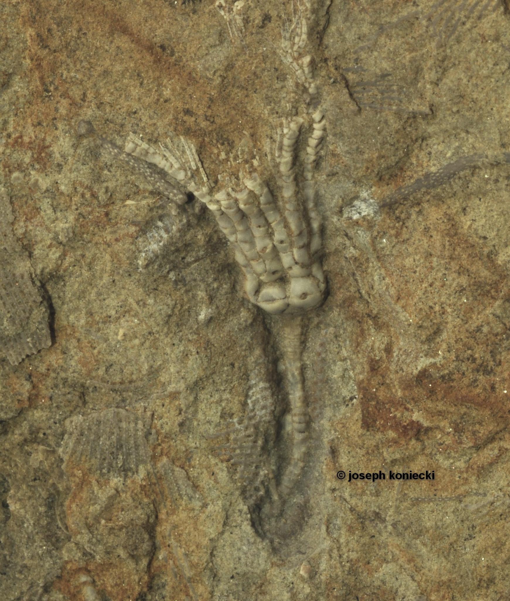 Aenigmocrinus