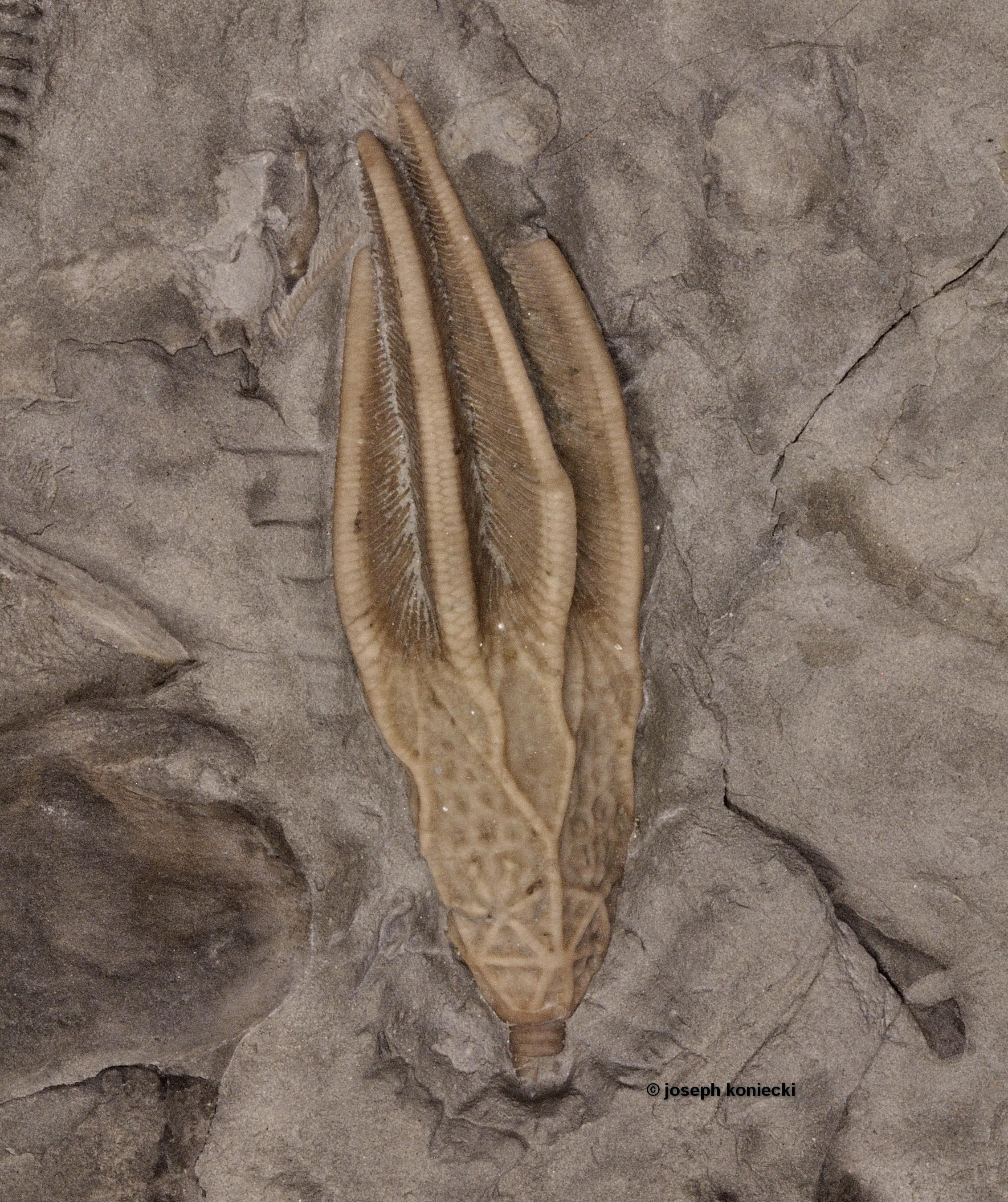 Periglyptocrinus