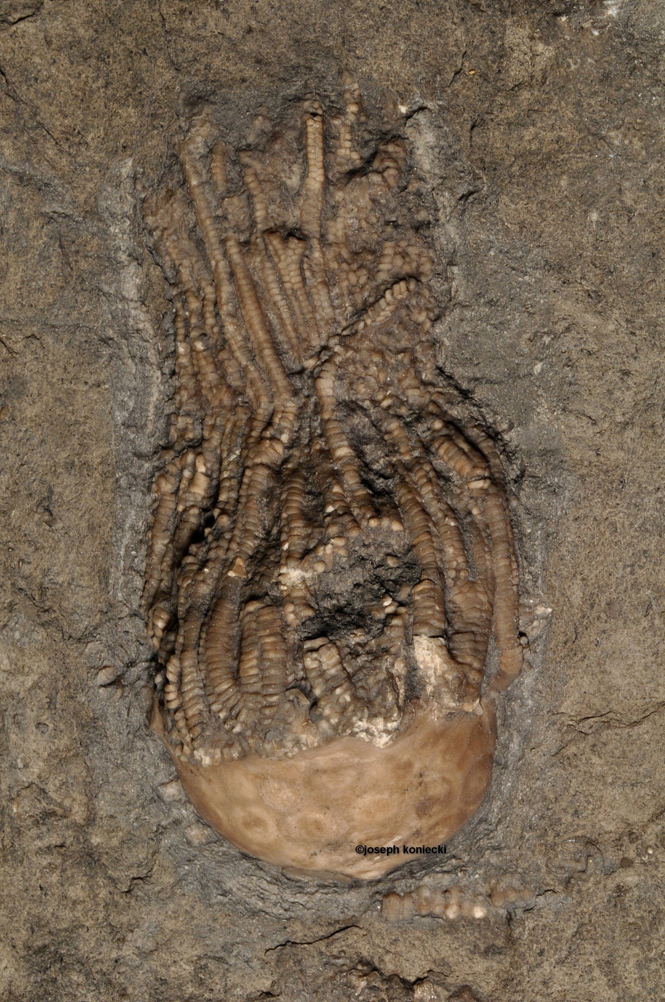Pithocrinus