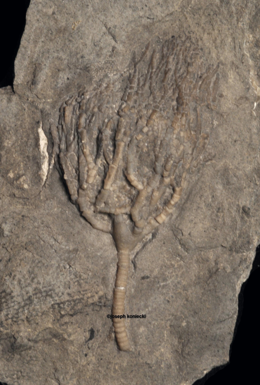 Pyrenocrinus