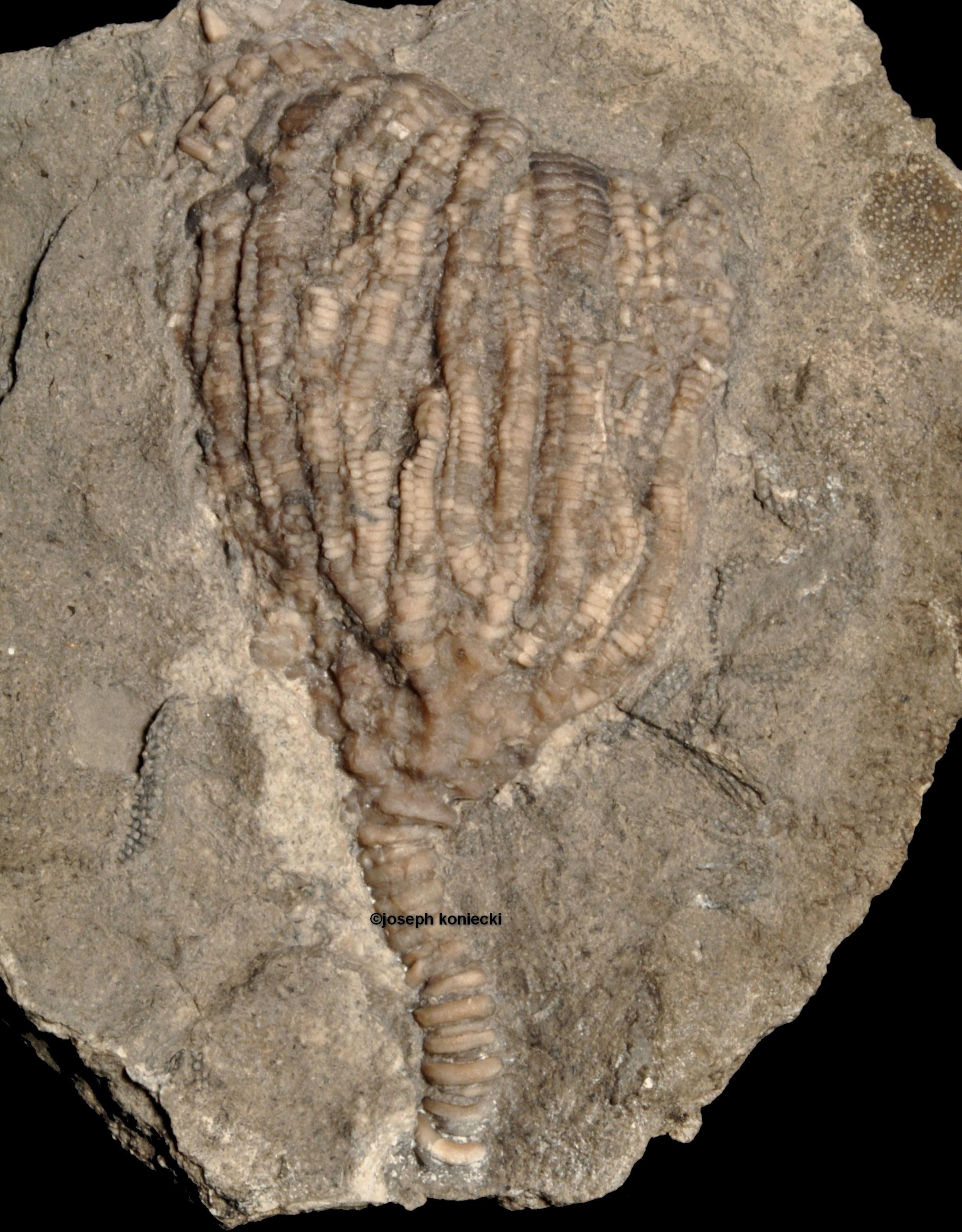 Aorocrinus